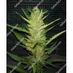 Seedless Prima Finola del Tavoliere delle Puglie 1 x 1KG -Sensimilla Alta Qualità Bio